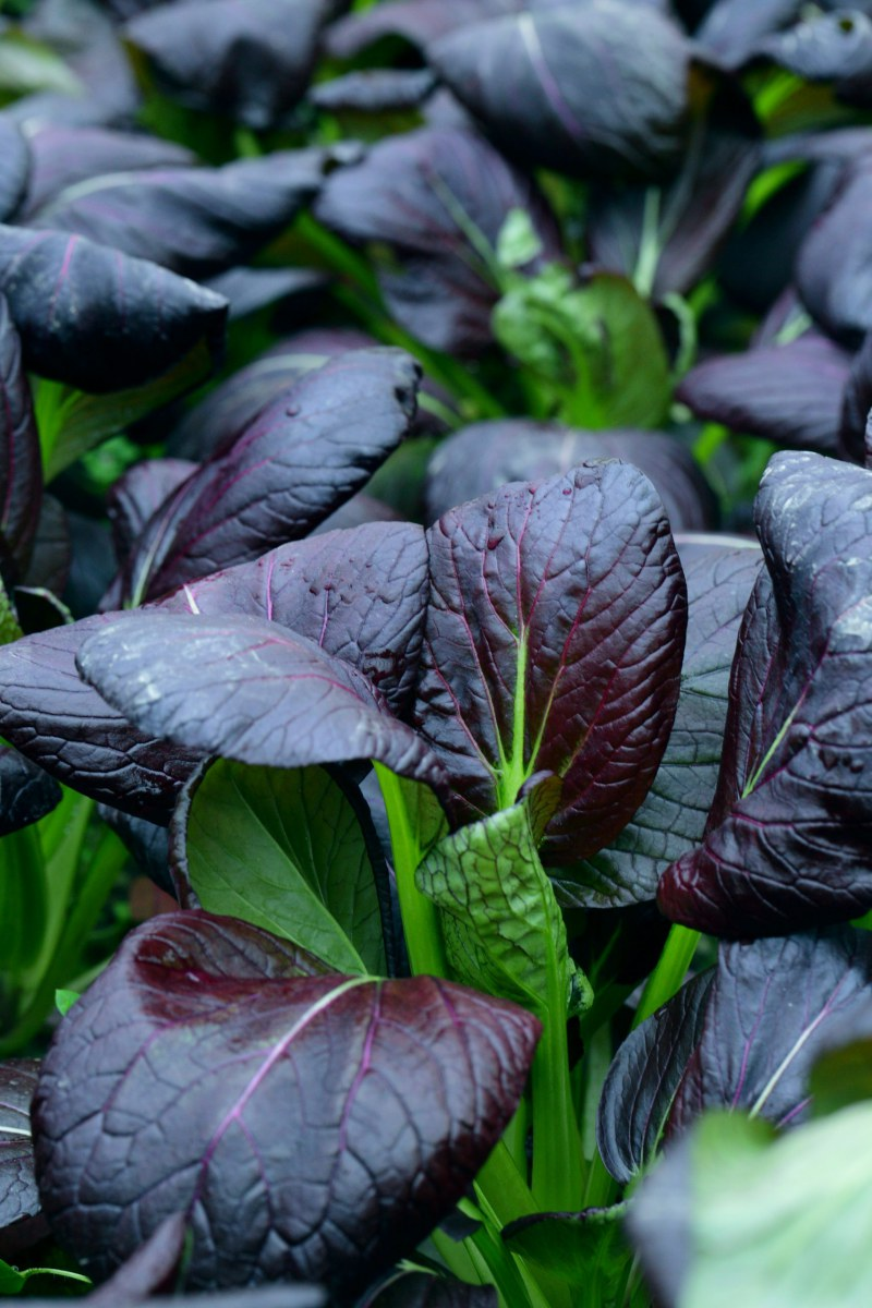 violetter Pak Choi